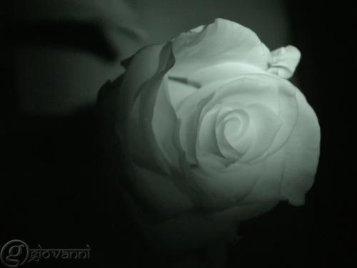 Infra red rose (1)